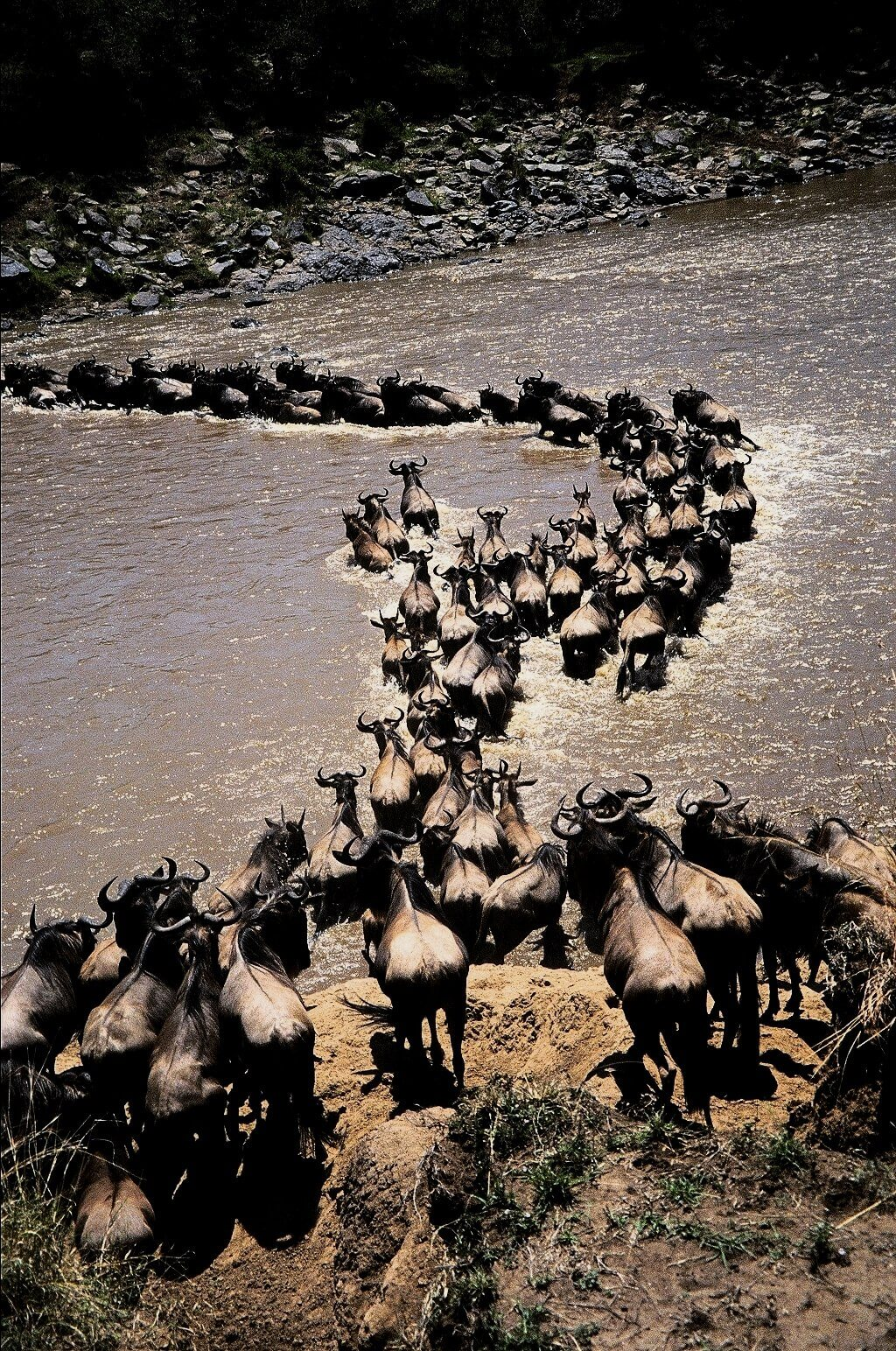 Kenya, Wildebeest crossing the Mara river