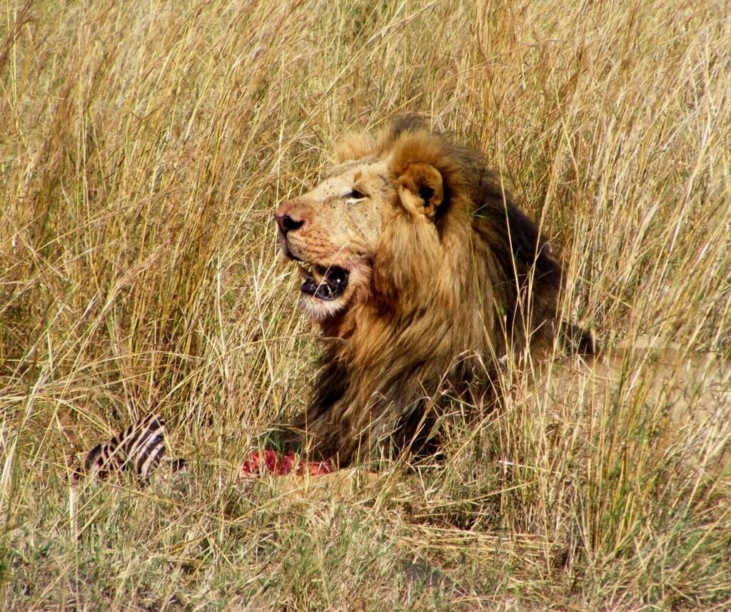 Male lion, Lion with kill, Lion in the grass,