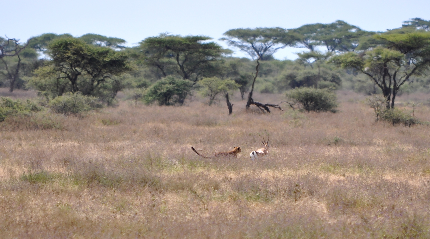 Tanzania -  Cheetah in a race